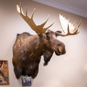 Photo of Moose taken by Doug Turnbull, on display in the Turnbull Restoration showroom in Bloomfield, NY